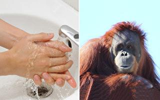 牠是防疫模範生?猩猩示範洗手務必要認真