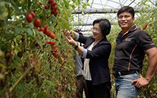舍科技厂长务农 柯景发栽培无毒番茄成典范