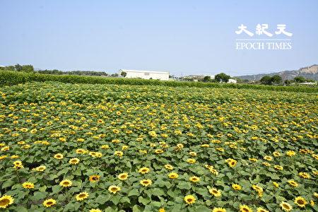 一整片的向日葵為疫情期間帶來療癒的正能量。