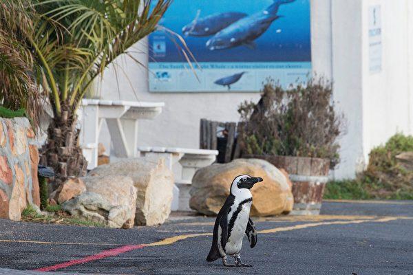 組圖:南非封鎖令再延長 行人稀少企鵝上街