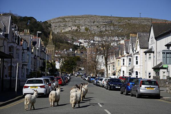 這種羊擁有柔軟又厚的長毛。(Christopher Furlong/Getty Images)