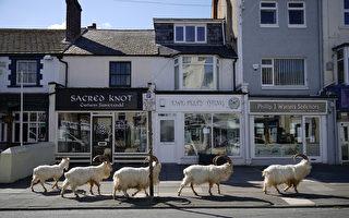 英國小鎮封城 羊群趁機占領還大啖植物