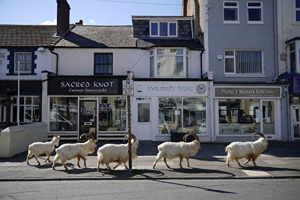 英国小镇封城 羊群趁机占领还大啖植物
