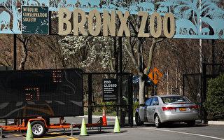 纽约8只虎狮染疫 2家猫也现中共肺炎症状