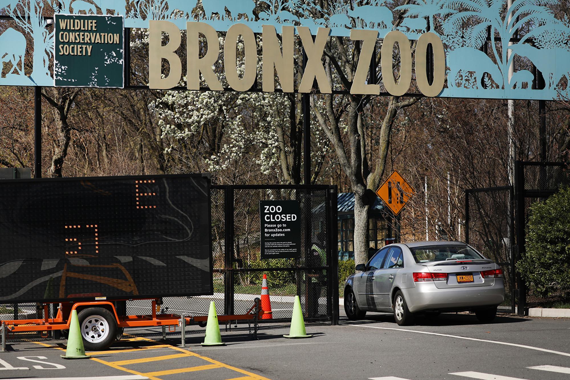 紐約八隻虎獅染疫 二家貓也現中共肺炎症狀