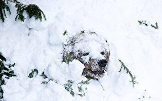 冬眠4个月后苏醒 加拿大灰熊从积雪中钻出
