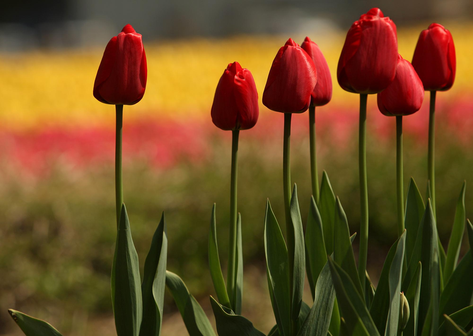 在當前疫情下,日本佐倉市政府銷毀了80萬株鬱金香,以阻止遊客到訪。圖為2013年4月22日,日本豐岡市的鬱金香花海。(Buddhika Weerasinghe/Getty Images)