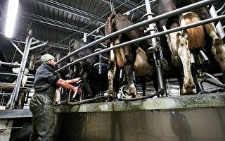 封鎖期間新西蘭農民繼續工作