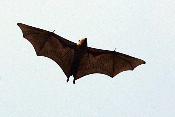 蝙蝠利用每天一次的自體高溫,強化自身免疫系統,進行獵殺病毒行動。 ( NARINDER NANU/Getty Images)