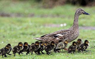 美國暖心警察護送一群小鴨去找媽媽
