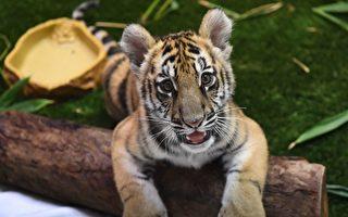洛杉磯動物園疏離貓科動物 員工配防護