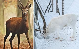 百年一遇純白馴鹿 攝影師:非常神奇的童話時刻