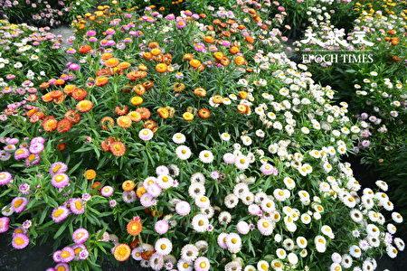 作為乾燥花用的麥桿菊,五顏六色相當吸睛。