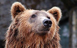 这只熊很有灵性 把倒下的交通锥扶正