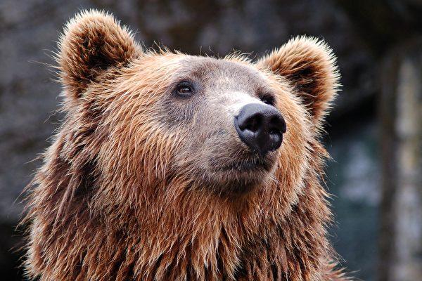 這隻熊很有靈性 把倒下的交通錐扶正