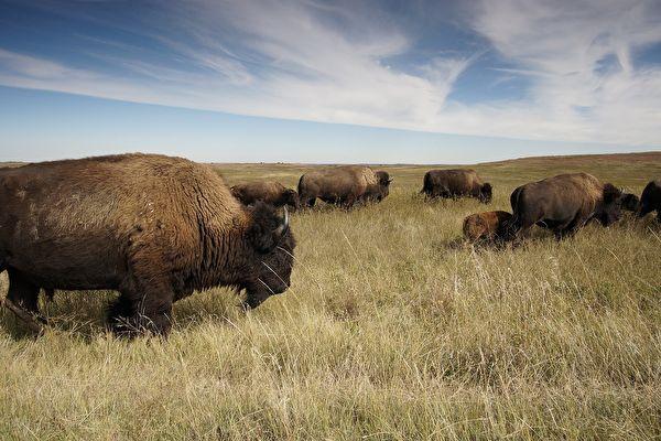 眼见野牛群接近 美国记者的反应十分逗趣