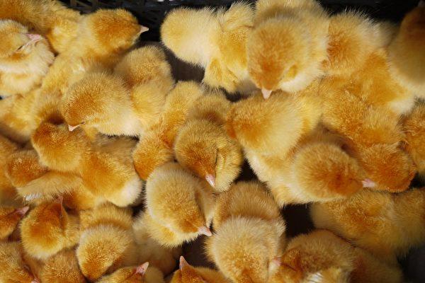 巴基斯坦被丟棄的一批蛋 孵出幾千隻小雞