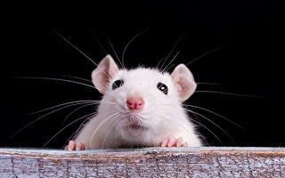 """从老鼠""""扮鬼脸""""获得灵感治疗情绪障碍"""