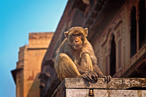 印度實施封城 猴子爬到屋頂上放風箏