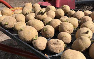 疫情岁月自给自足(一) 省事高产种土豆