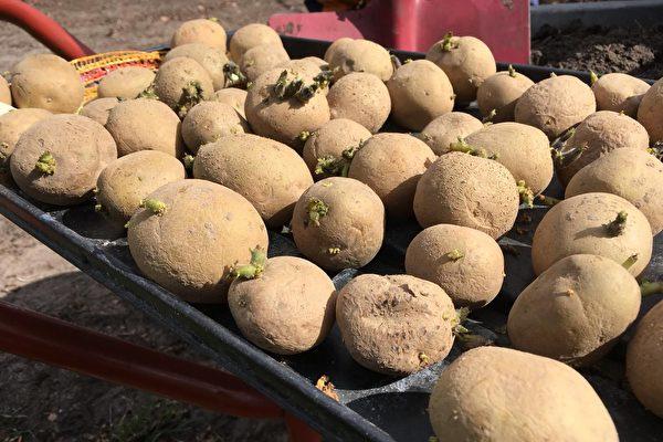 疫情歲月自給自足(一) 省事高產種土豆