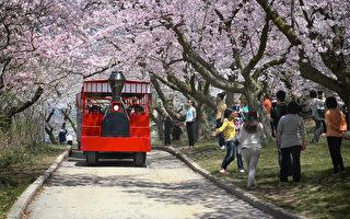 快到櫻花盛開時 市府擬關閉高地公園