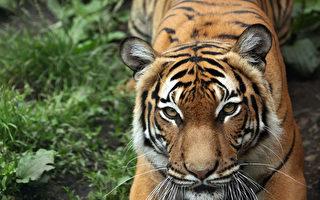 美國老虎確診 加獸醫協會:染疫者勿親近寵物