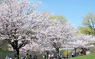 想去High Park看櫻花?今年只能對著電腦看