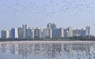 印度孟买封城 十几万只红鹤涌入 可望破纪录