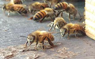 甜蜜蜜的蜂世界——独行独居蜂&群居小蜜蜂