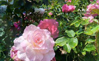 浪漫玫瑰露&皂 療癒又美容