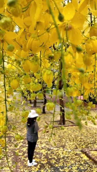 罕見 南台灣鳳凰花阿勃勒盛開 紅黃花毯吸睛