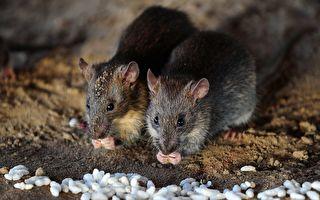 捕鼠者警告放宽限制后悉尼应小心鼠患