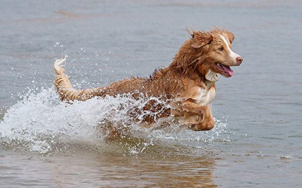 新斯科舍水鸭引诱寻猎犬