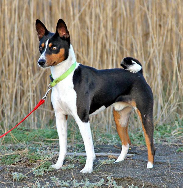 贝仙吉犬。