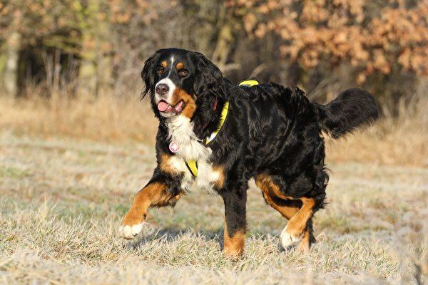伯恩山犬。