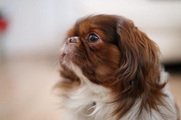 英国玩具犬。