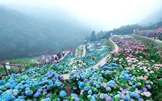 相約在花季 陽明山繡球花與海芋綻放