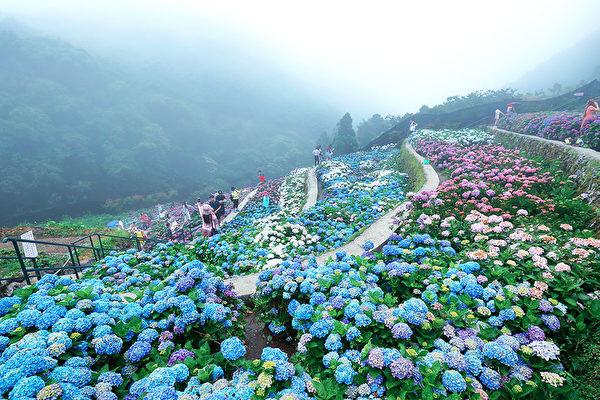 相约在花季 阳明山绣球花与海芋绽放