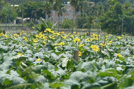 头社丝瓜专区今年开始选用嫁接品种,存活率及抗病力都更高,即使在上星期下了几天的大雨过后,仍能维持8成上存活率。
