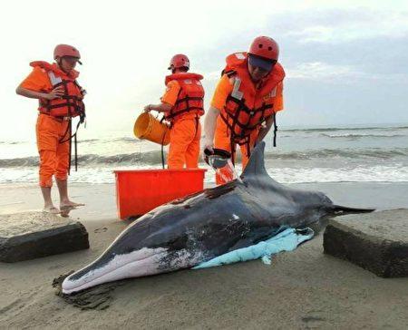 保育糙齿海豚年约有4-50岁,体型属为稍大型海豚。