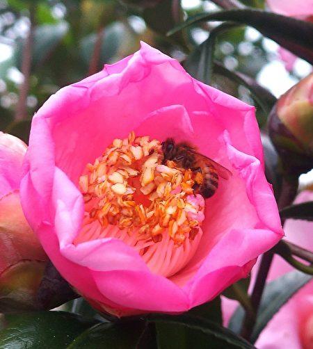 茶花上的蜜蜂。