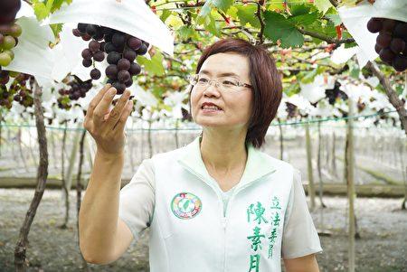 立委陈素月不舍晶莹剔透的葡萄受水伤。