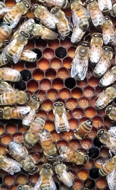 蜜蜂並不可怕,牠們只是勤做工的昆蟲,而且對生態有極大的幫助。