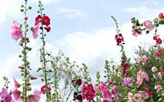 来台中赏花 新社蜀葵花开满了