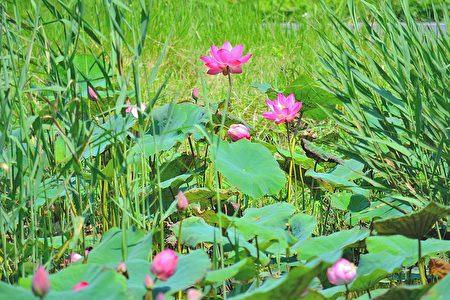 大汉溪两侧的人工湿地荷花盛开