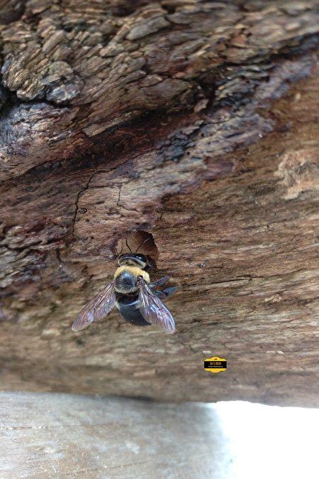 木蜂(獨居蜂的一種)。