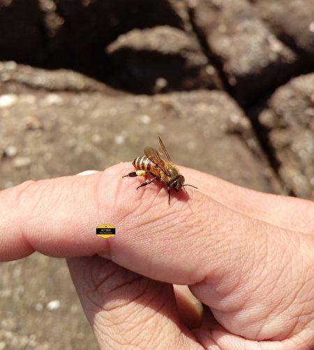 沒惹牠,友善的蜜蜂不會叮人。