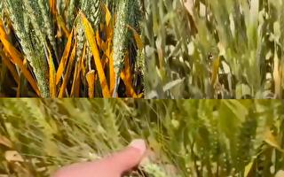 【现场视频】陕西小麦遭遇30年来最严重锈病