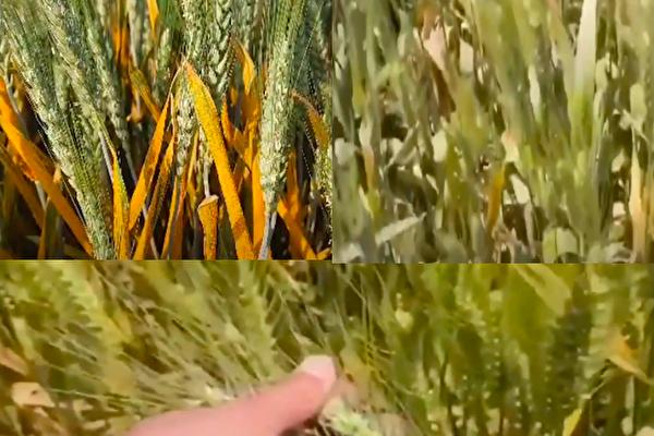陕西、山西的小麦条爆发锈病。(视频截图合成)